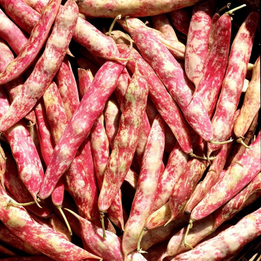 Haricot semer et planter ooreka - Quand semer les haricots verts ...