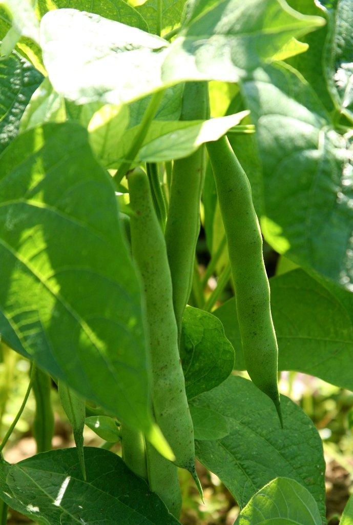 haricot   semer et planter  u2013 ooreka