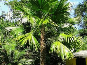 Plantation du livistona