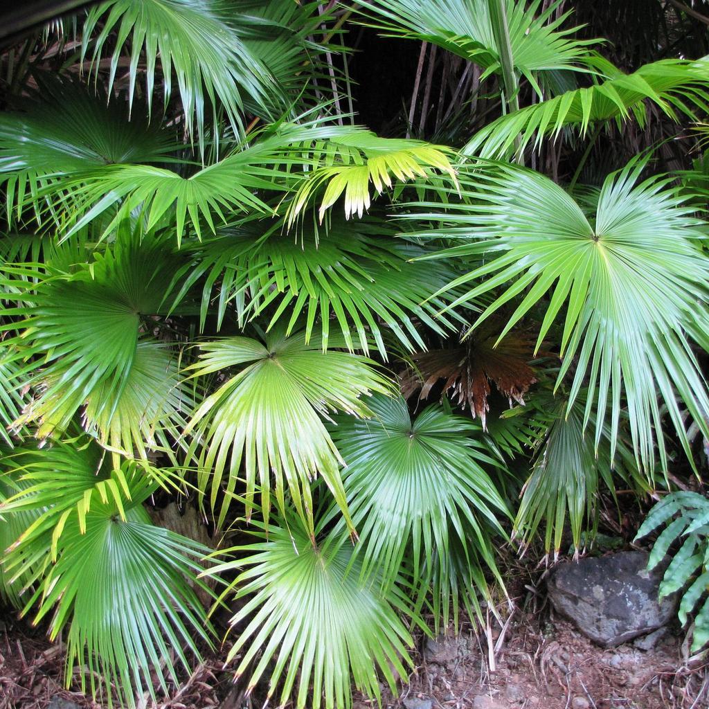 Livistona chinensis (palmier «éventail» chinois)