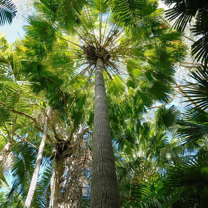 Livistona australis (palmier «éventail» australien)
