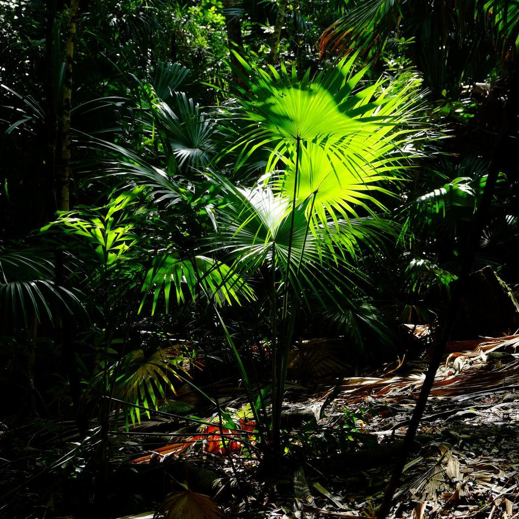 Livistona rotundifolia, syn. Saribus rotundifolius (palmier «tabouret»)