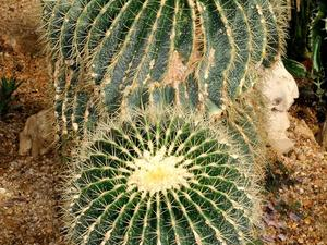 Multiplication d'<em>Echinocactus</em>