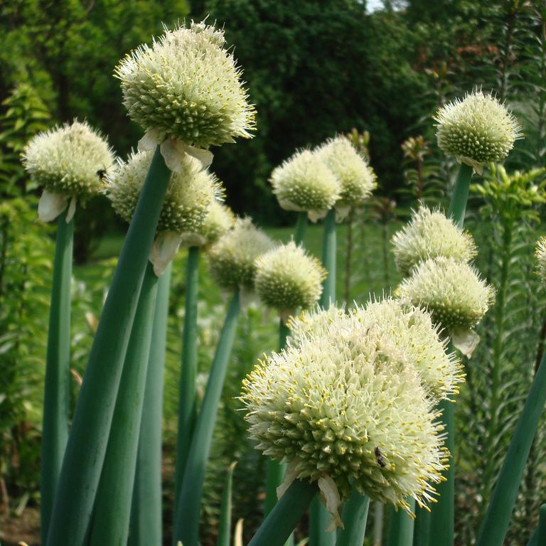 Ciboule, cive (Allium fistulosum) Espèce type