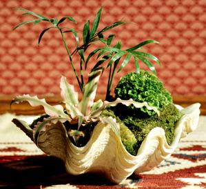 Semis et plantation du cryptanthus
