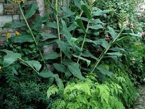Plantation de l'<em>Hedychium</em>