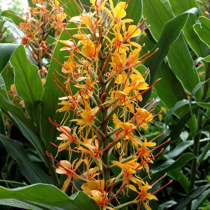 Gingembre ornemental rouge (Hedychium coccineum) 'Tara'