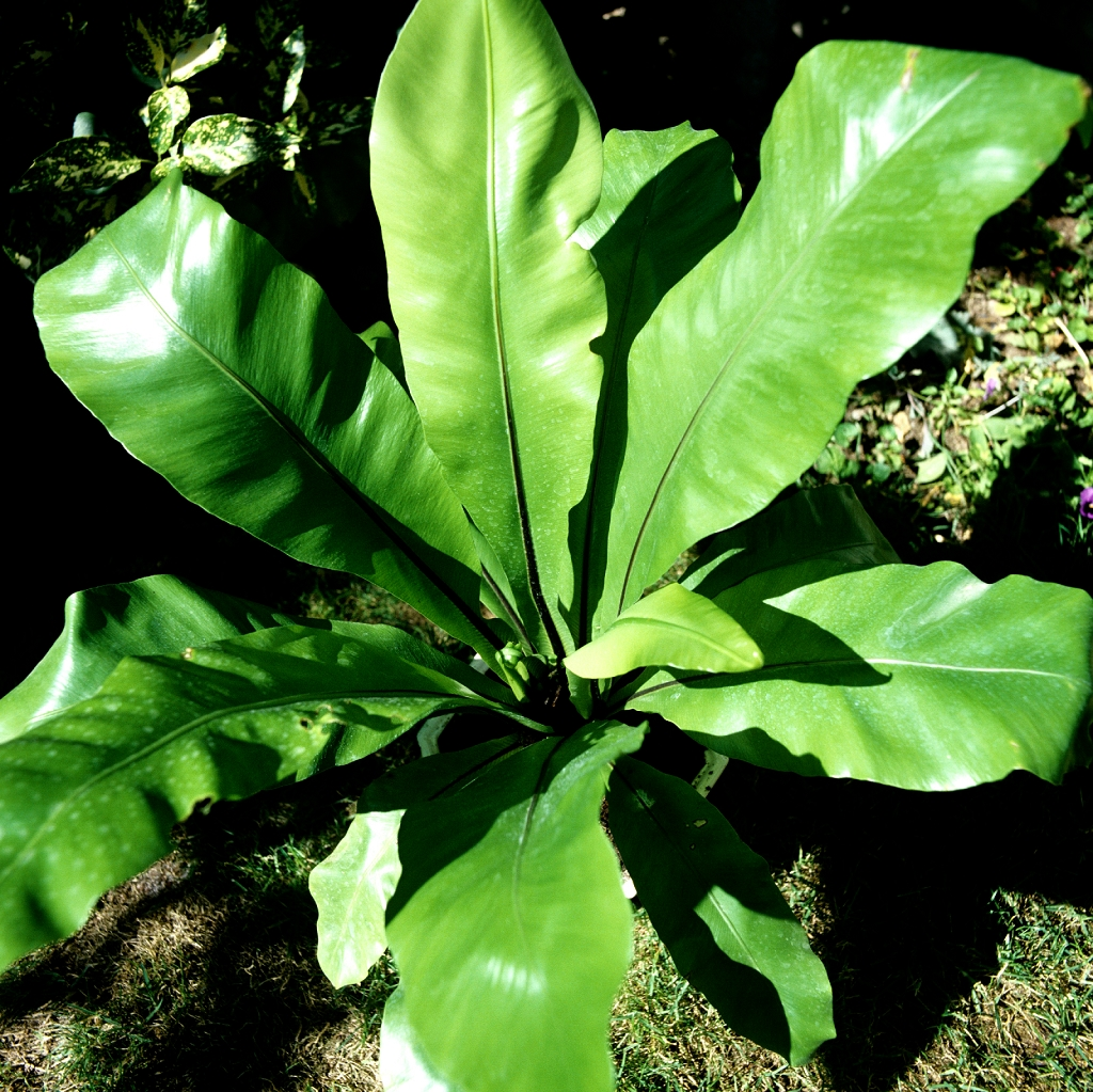 Asplenium nidus planter et cultiver ooreka for Chaine de coeur plante entretien