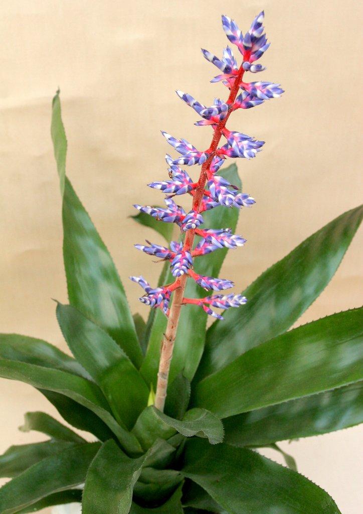 Aechmea planter et cultiver ooreka for Plante 4 images 1 mot