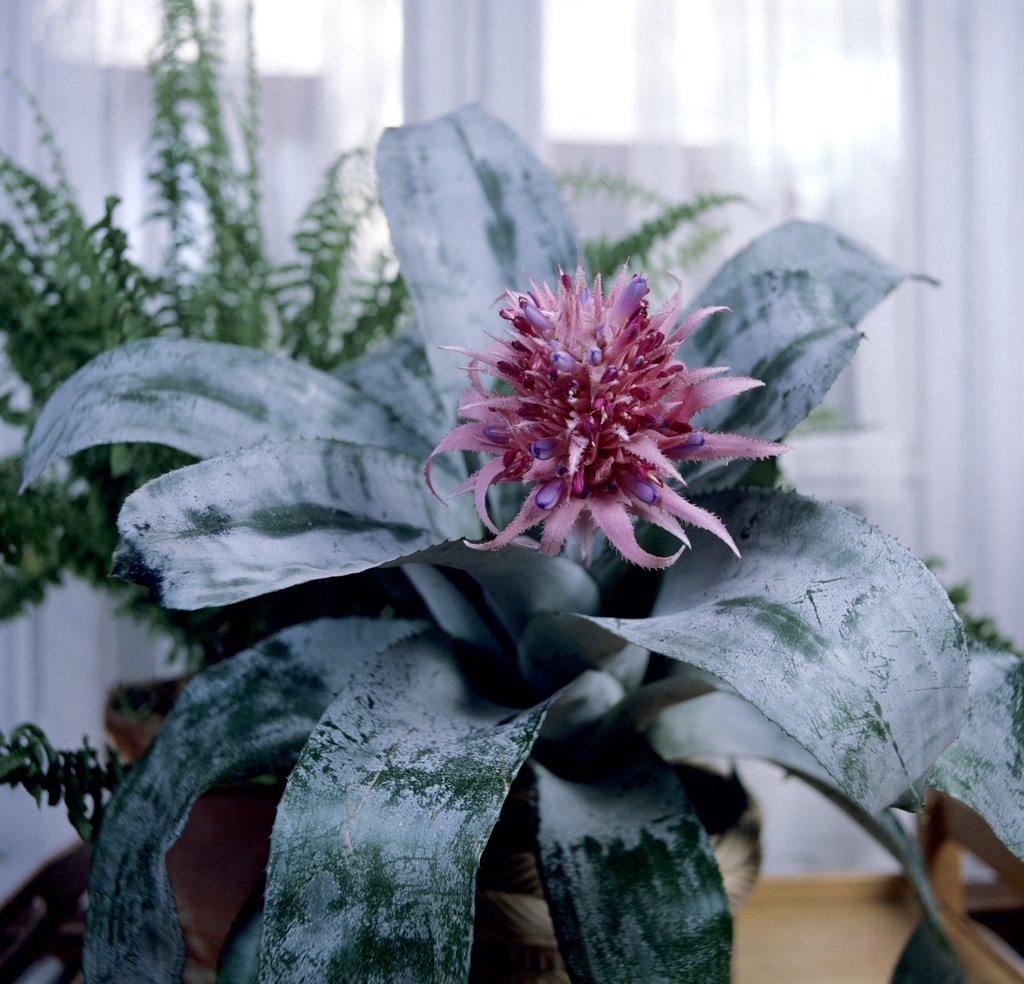 Aechmea planter et cultiver ooreka for Plante decorative jardin