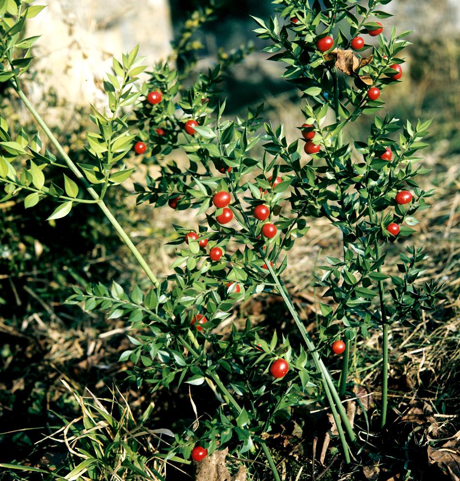 Comment Faire Une Pousse De Houx fragon : planter et cultiver – ooreka