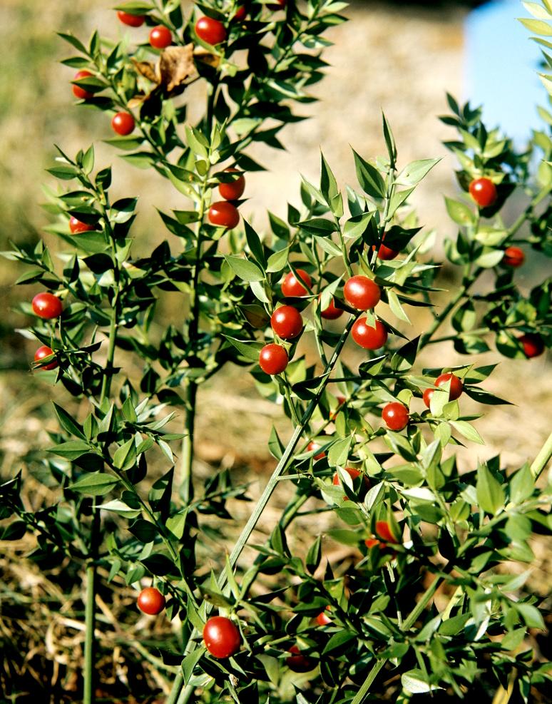 Fragon planter et cultiver ooreka for Plante 4 images 1 mot