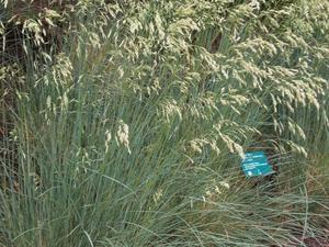 Plantation de <em>Helictotrichon sempervirens</em>