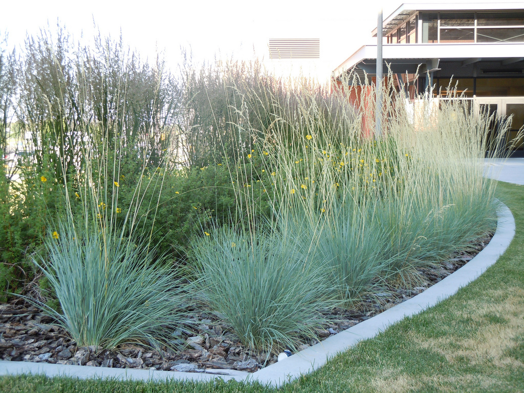 Helictotrichon sempervirens planter et cultiver ooreka for Designing with grasses