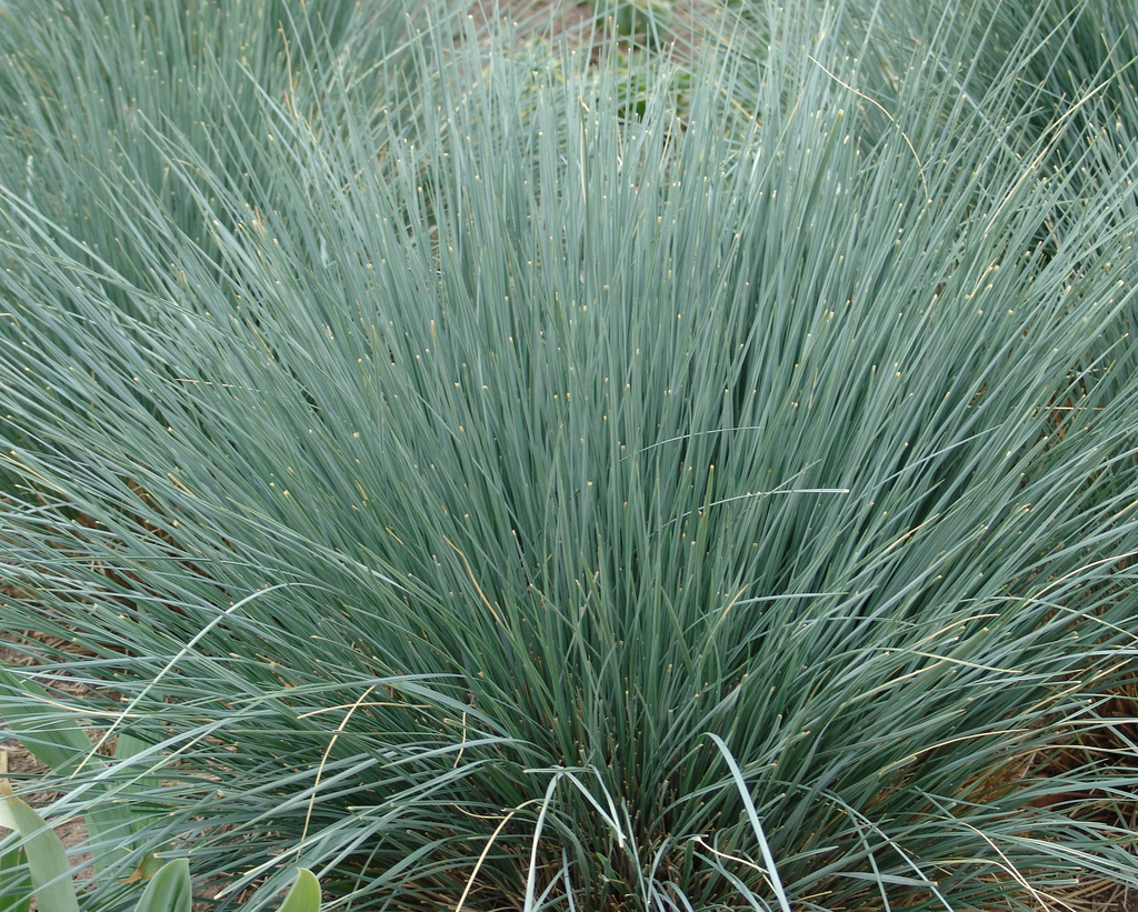 Helictotrichon sempervirens planter et cultiver ooreka for Plante decorative jardin