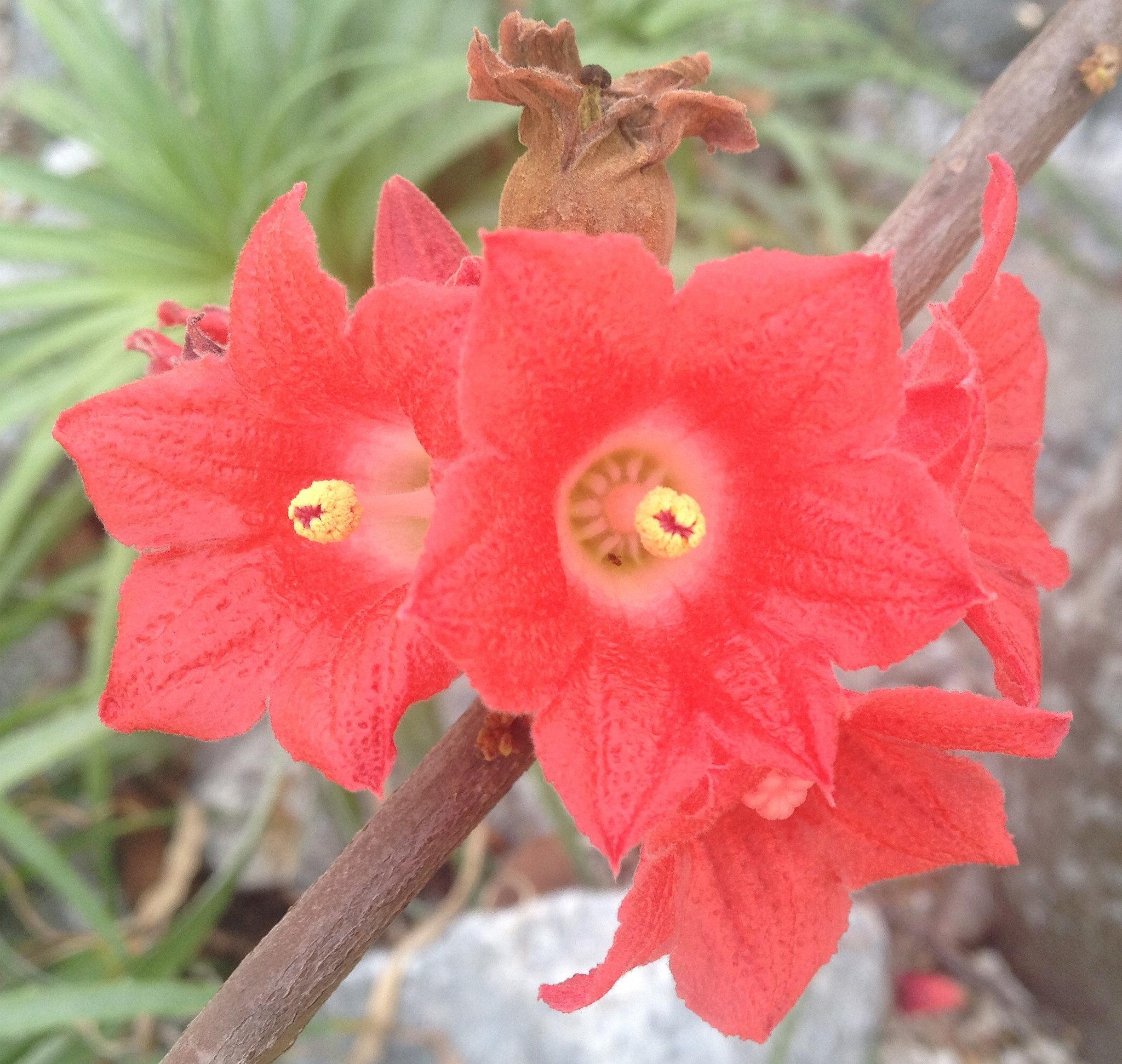 brachychiton   planter et cultiver  u2013 ooreka