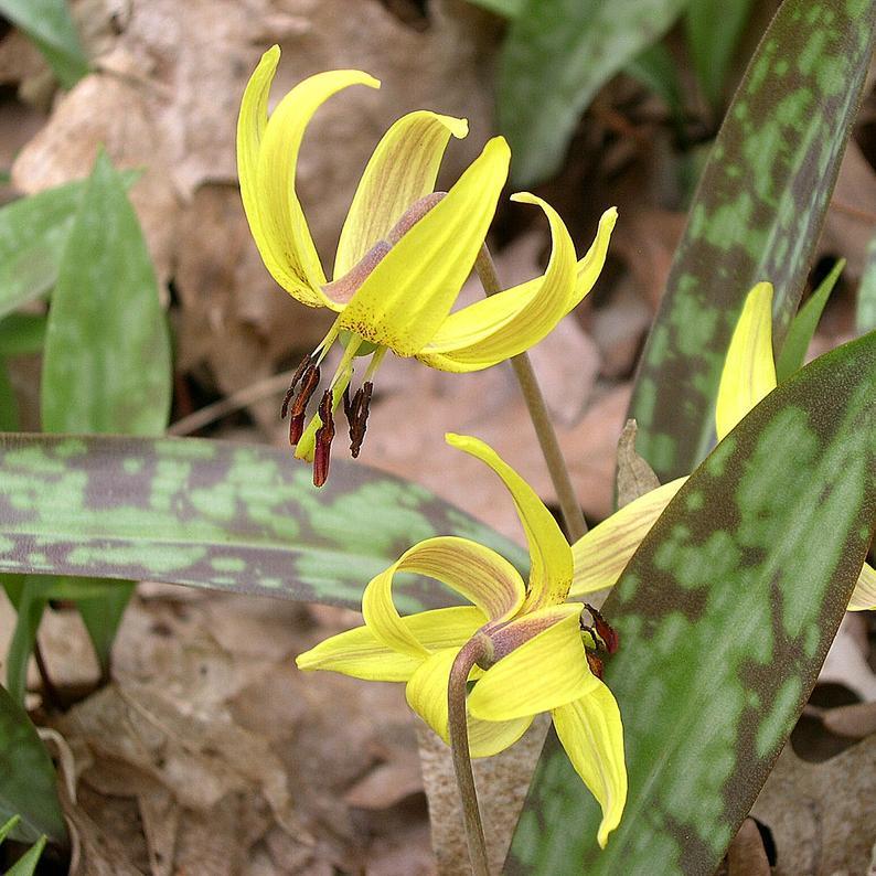 Érythrone d'Amérique, ail doux (Erythronium americanum) Espèce type