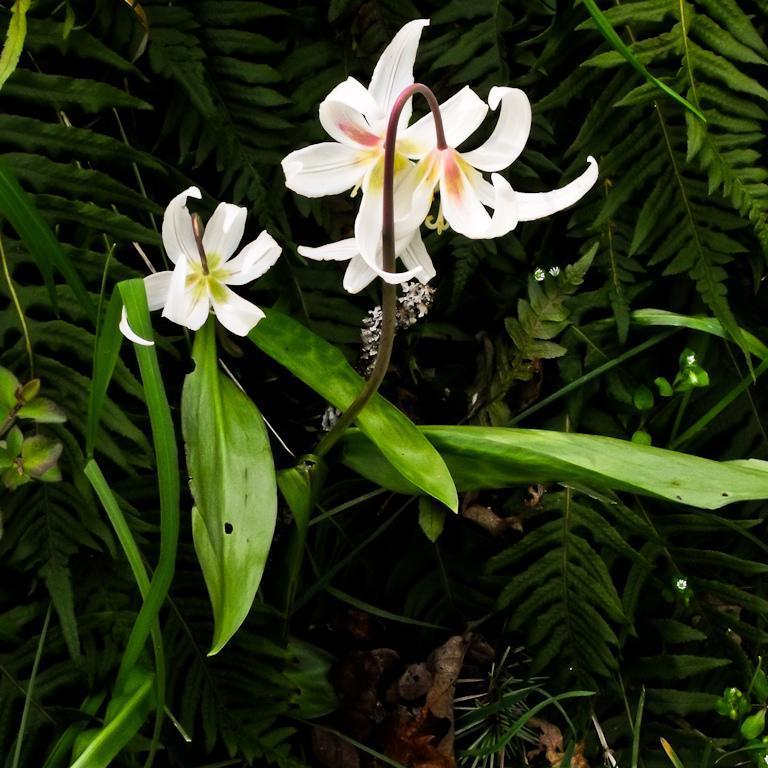 Erythronium oregonum Espèce type