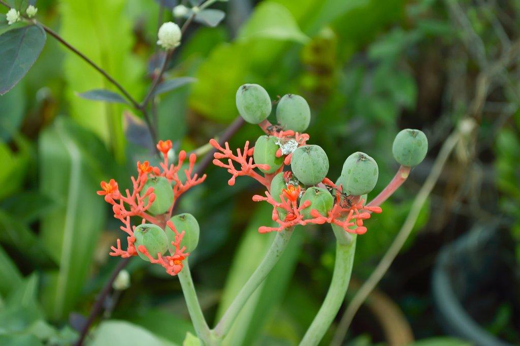 jatropha   planter et cultiver  u2013 ooreka
