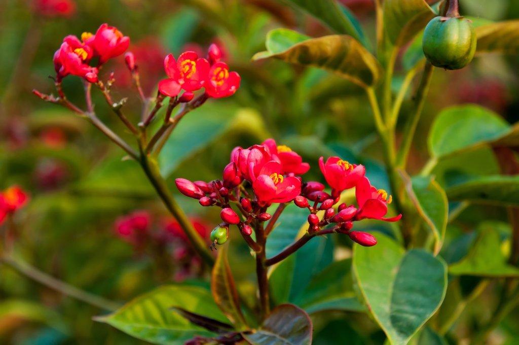 Jatropha planter et cultiver ooreka for Entretien rosier nain interieur