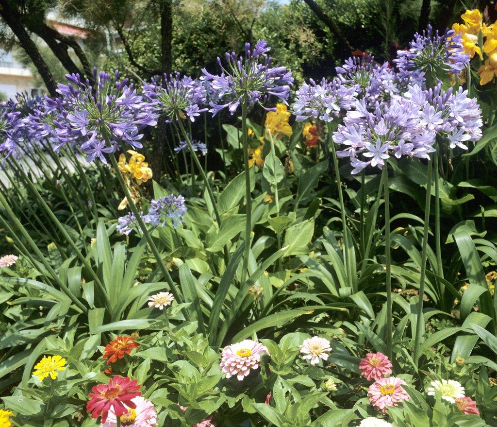Agapanthes: plantation et soin - Promesse de fleurs