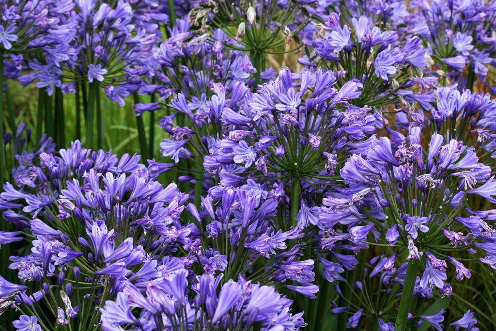agapanthe : semer et planter – ooreka