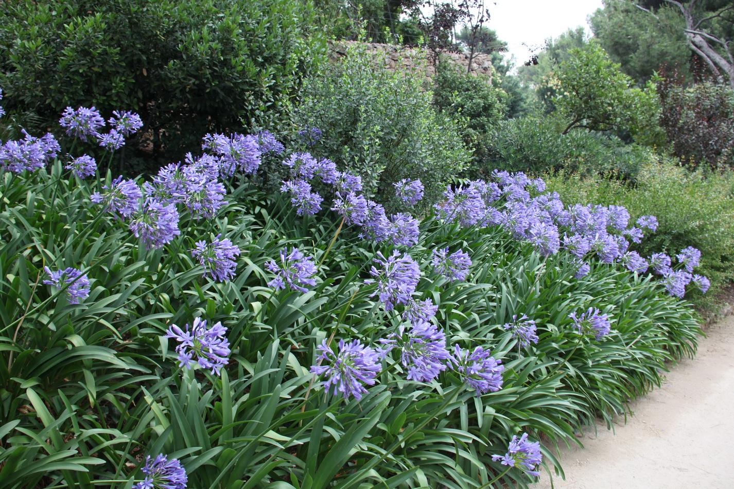 Graines D Agapanthe : agapanthe semer et planter ooreka ~ Melissatoandfro.com Idées de Décoration