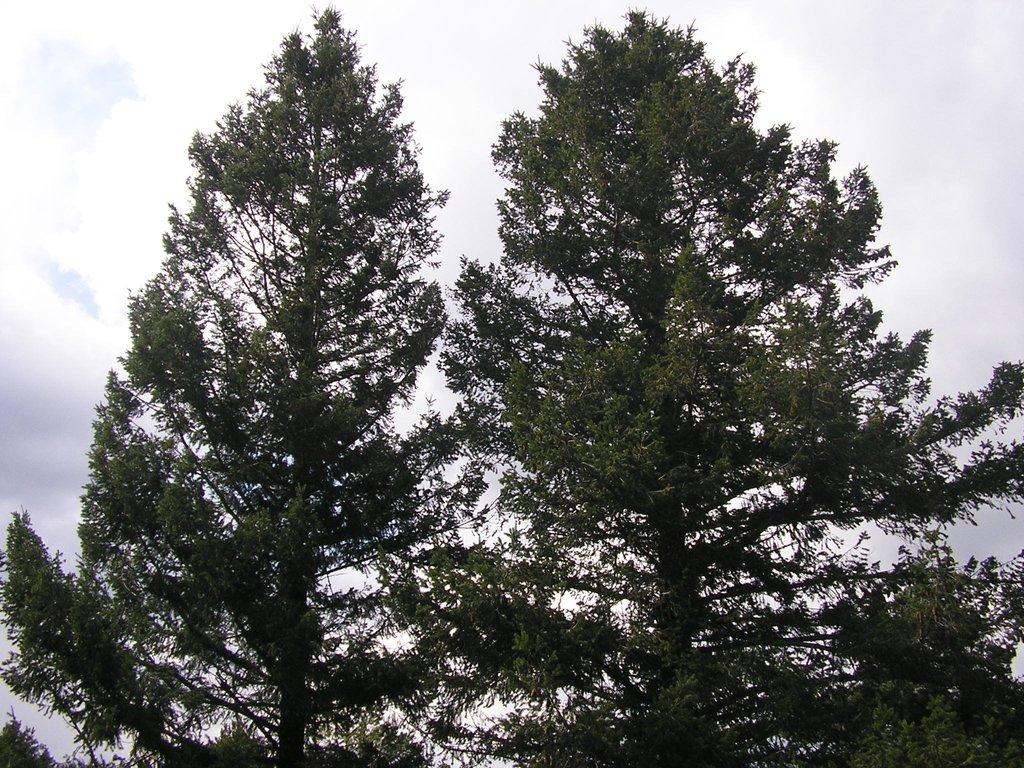 Sapin de Douglas : planter et cultiver – Ooreka