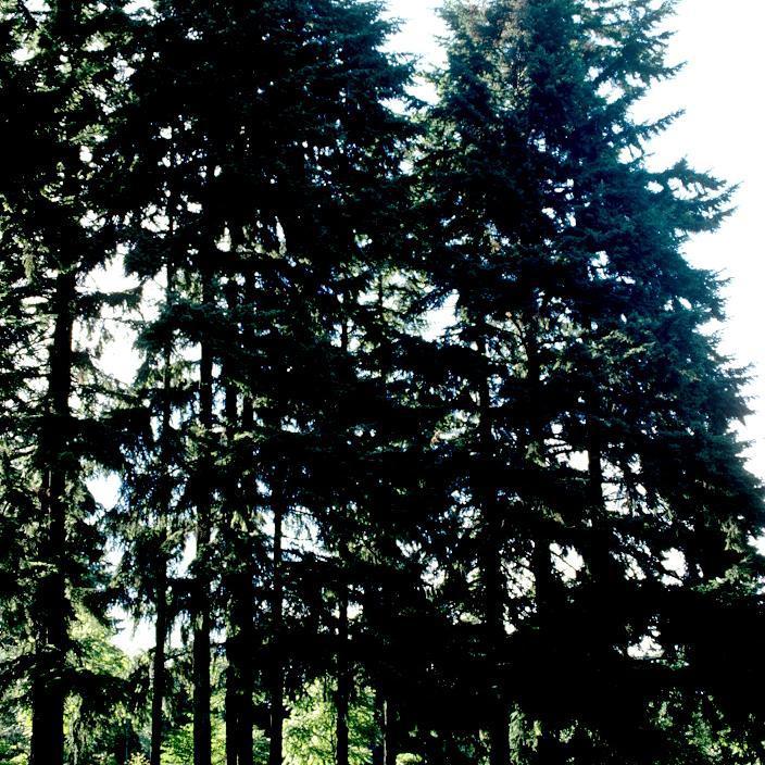 Sapin de Douglas, Douglas, fausse pruche (Pseudotsuga menziesii, syn. P. m. var. menziesii, Pinus taxiflolia, Pinus douglasii, Picea d., Abies d.) Espèce type