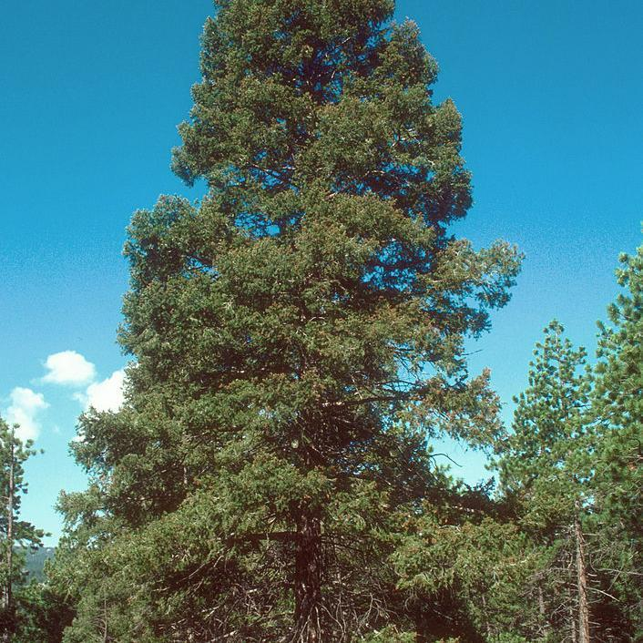 Sapin de Douglas, Douglas, fausse pruche (Pseudotsuga menziesii, syn. P. m. var. menziesii, Pinus taxiflolia, Pinus douglasii, Picea d., Abies d.) Douglas bleu, rocky mountain douglas fir (Pseudotsuga menziesii var. glauca, syn P. glauca)