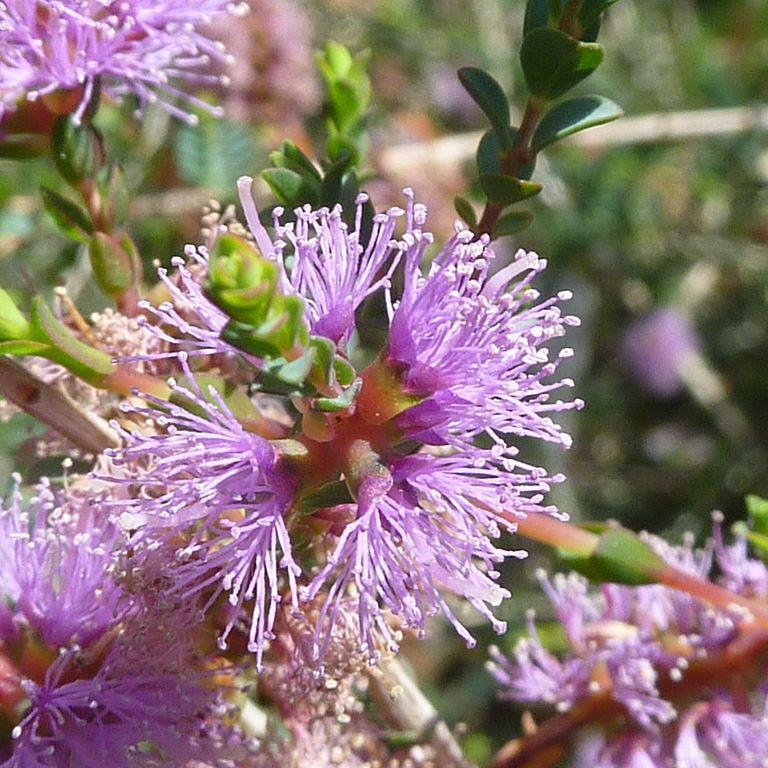 Cajeputier (Melaleuca gibbosa) Espèce type