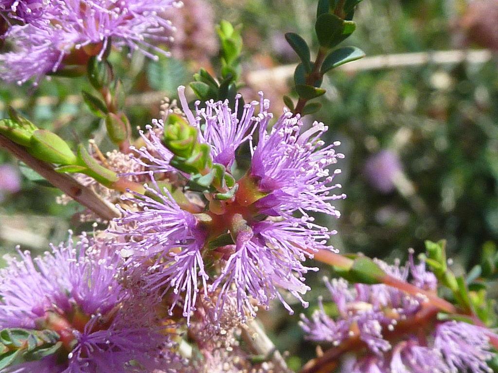 Melaleuca : planter et cultiver – Ooreka