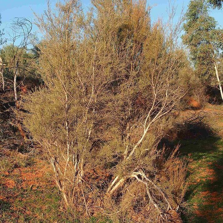 Desert honey-myrtle, white tea-tree (Melaleuca glomerata) Espèce type