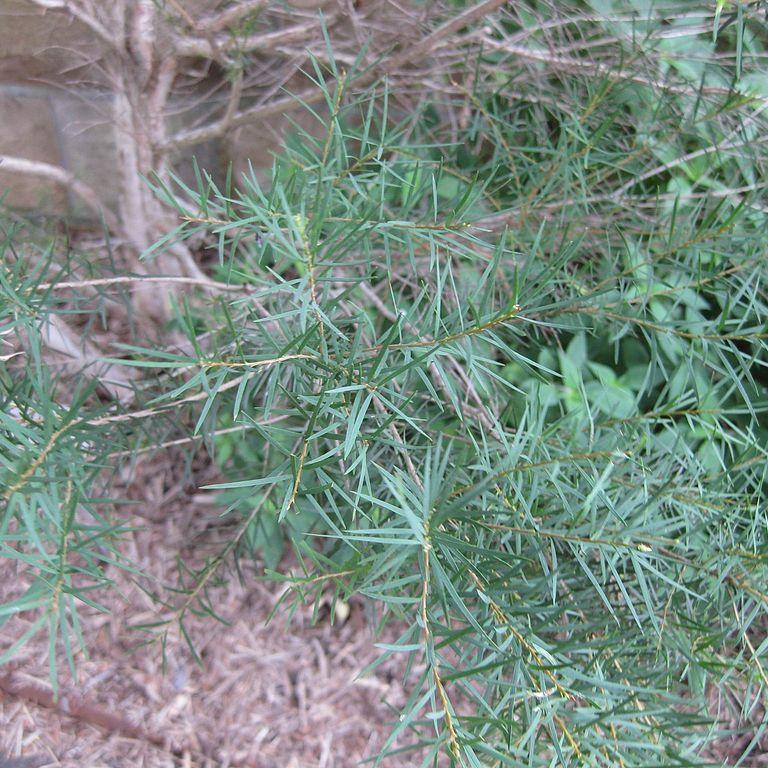 Tea tree, arbre à thé (Melaleuca alternifolia) Espèce type
