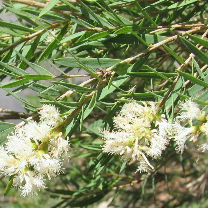 Melaleuca à feuilles de lin (Melaleuca linariifolia) Espèce type