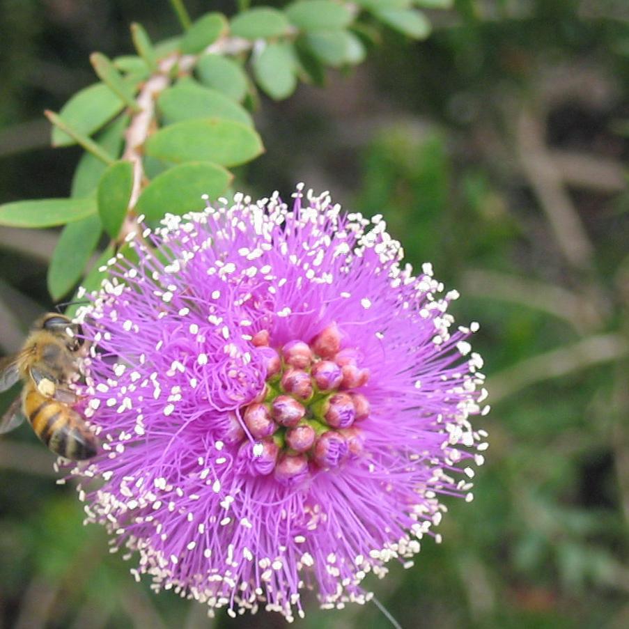 Melaleuca nesophila (syn. M. nesophylla, Myrtoleucodendron nesophyllum) Espèce type