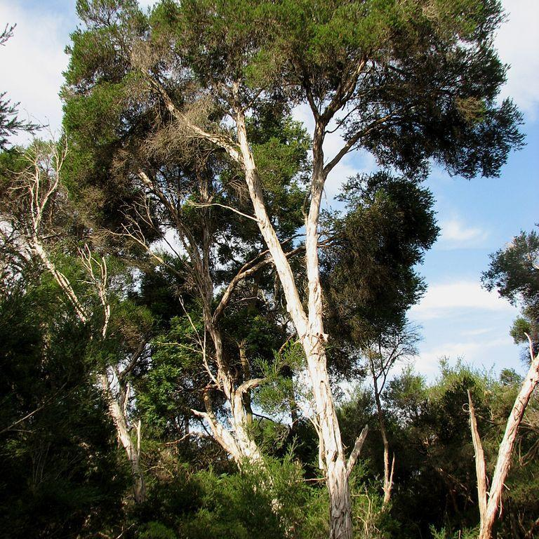 Melaleuca à feuilles de bruyère (Melaleuca ericifolia) Espèce type