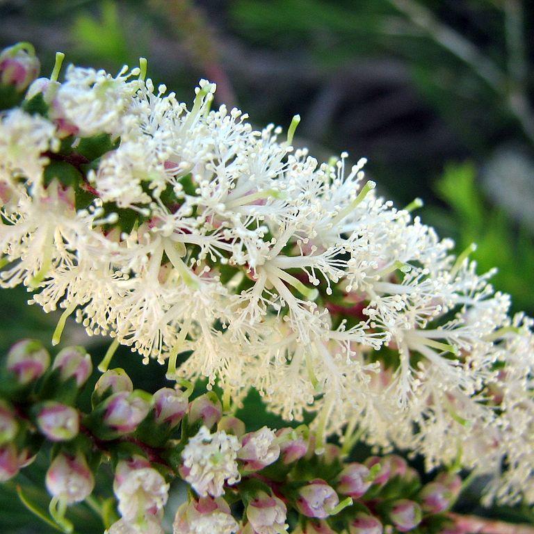 Melaleuca armillaris Espèce type