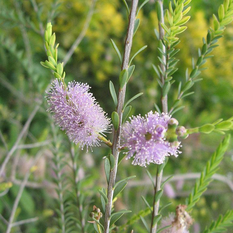 Melaleuca decussata Espèce type