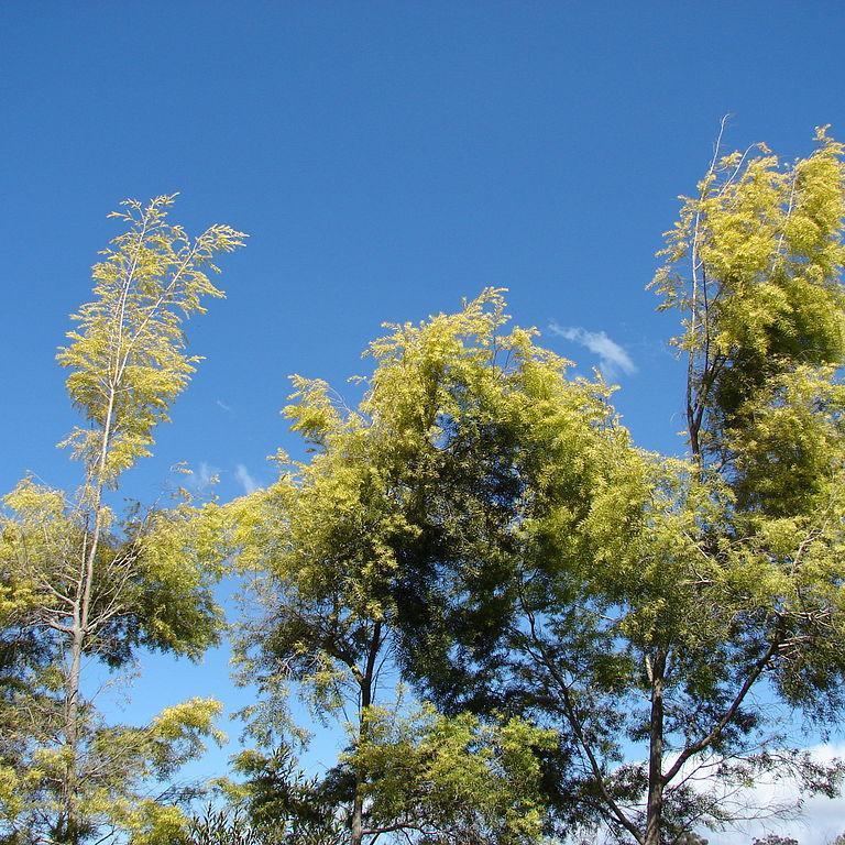 Melaleuca bracteata Espèce type