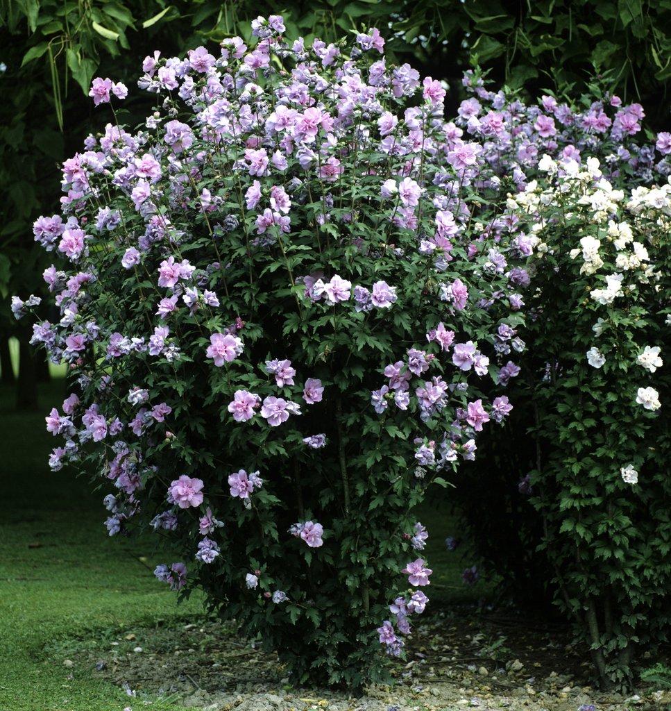 hibiscus de jardin persistant finest mauve en arbre with. Black Bedroom Furniture Sets. Home Design Ideas