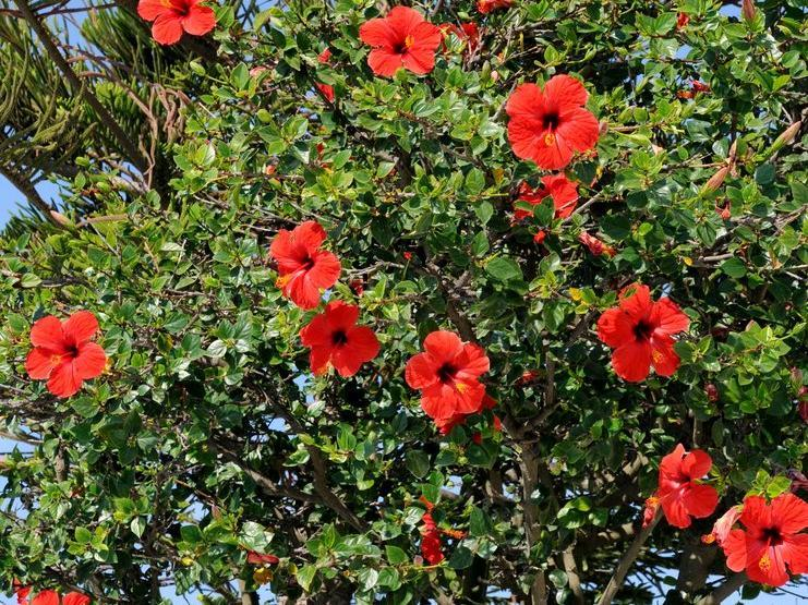 althéa : planter et tailler – ooreka