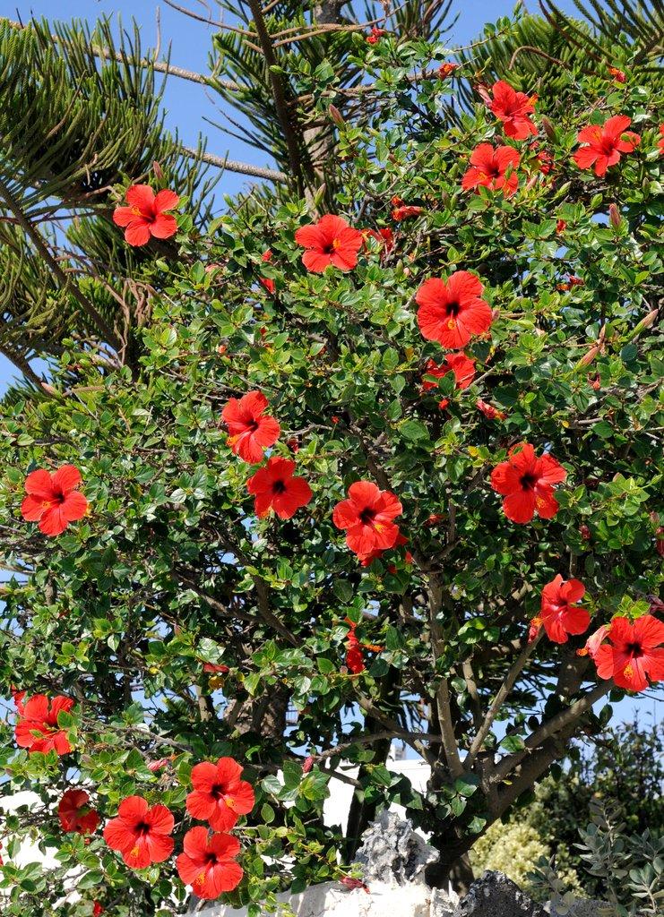 Althéa : planter et tailler - Ooreka
