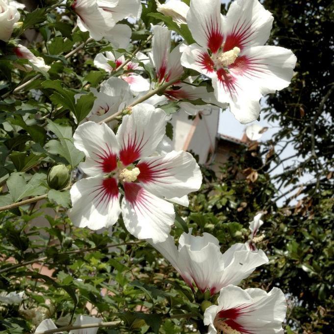 Variété à fleurs simples 'Hamabo'
