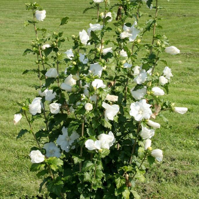 Variété à fleurs simples 'Diana'