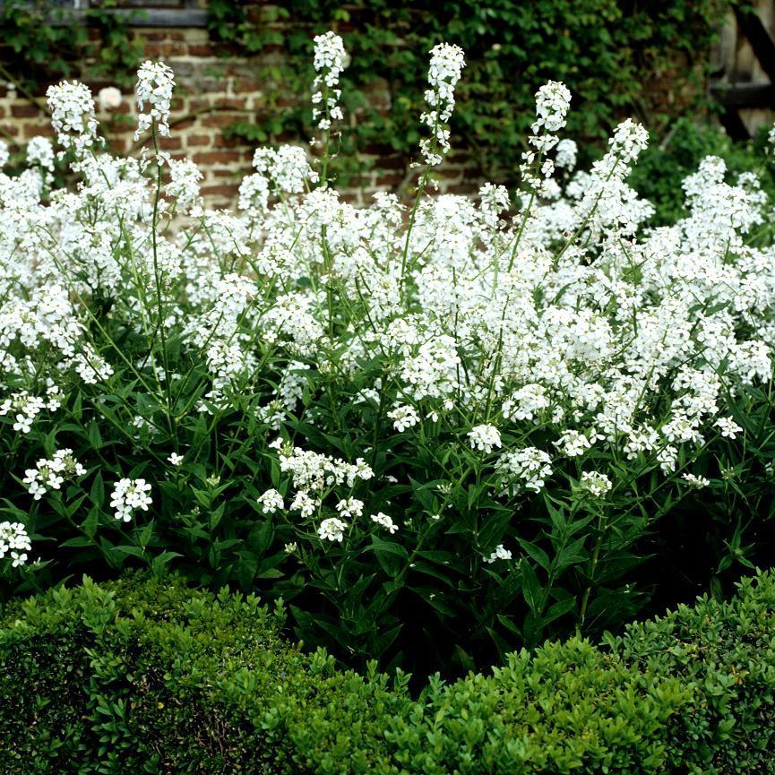 Julienne des dames (Hesperis matronalis) Albiflora (H. matronalis var. albiflora) Variété botanique