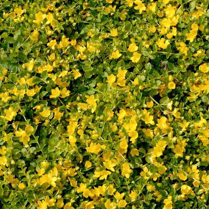 Lysimaques caduques à fleurs jaunes Lysimaque nummulaire, herbe-aux-écus (Lysimachia nummularia)
