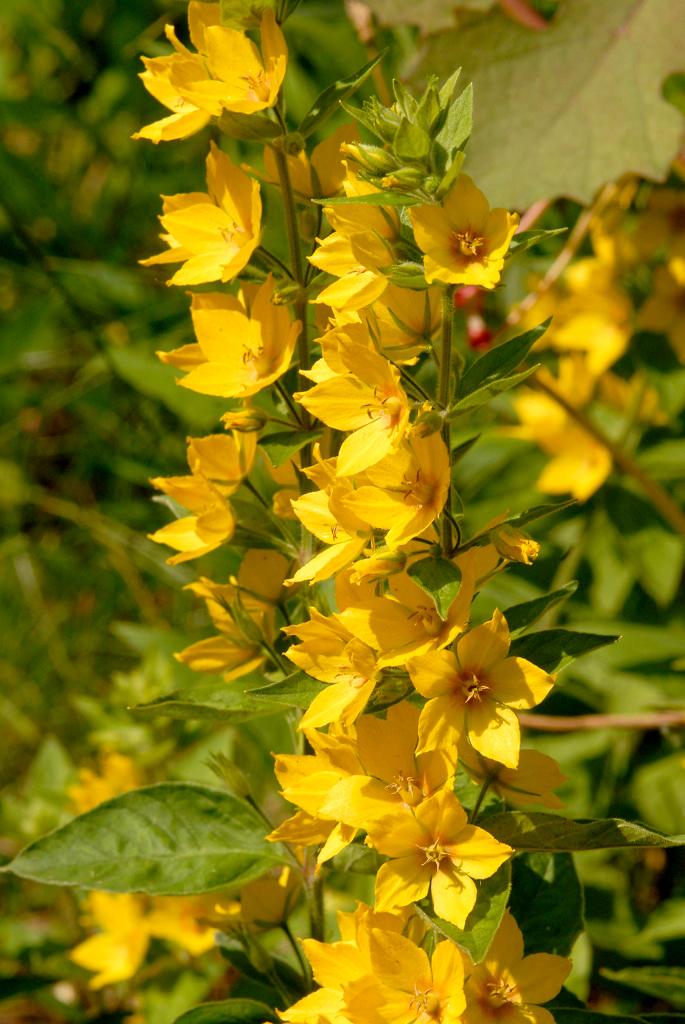 fleurs jaunes vivaces hautes