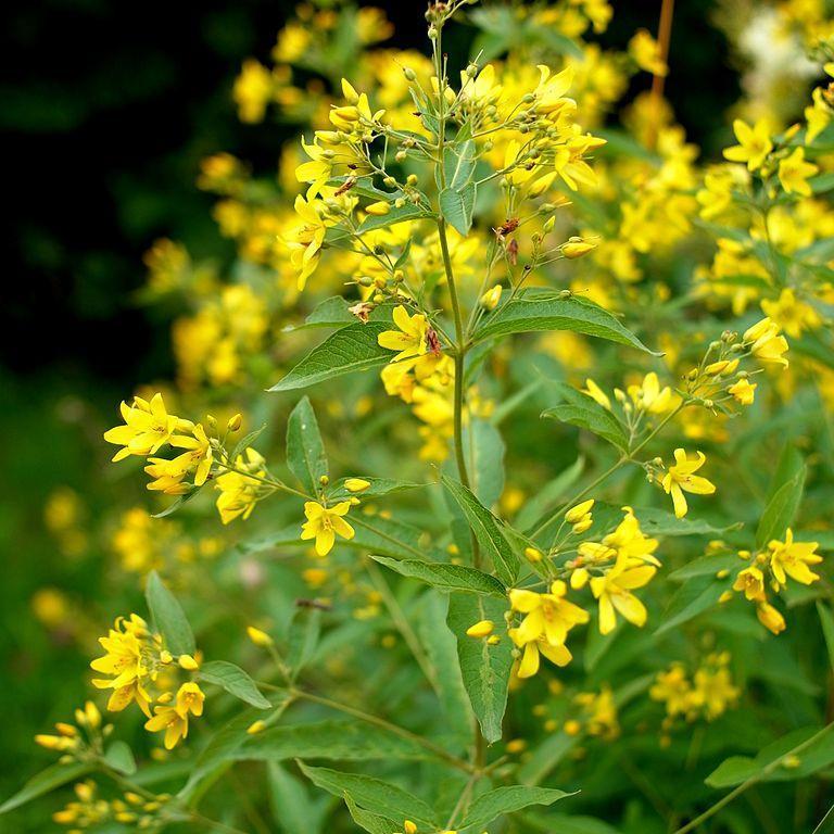 Lysimaques caduques à fleurs jaunes Chasse-bosse, lysimaque commune, grande lysimaque (Lysimachia vulgaris)