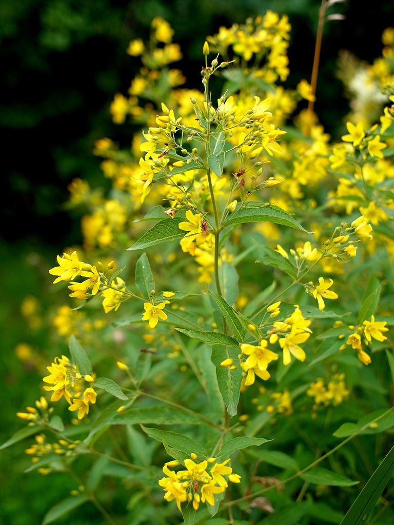Lysimaque planter et cultiver ooreka - Plante a fleur jaune 6 lettres ...